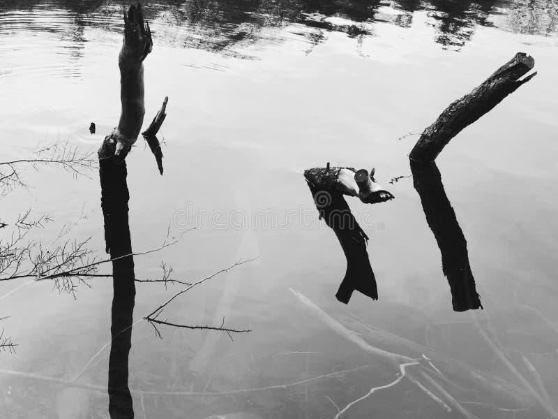 Tote Baumstammreflexion auf dem Wasser stockbilder
