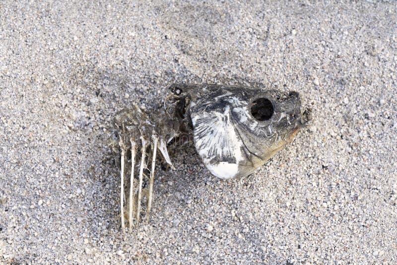 Tote Fische auf dem Sand wegen der Dürre Fishbone auf dem Sand lizenzfreie stockfotos