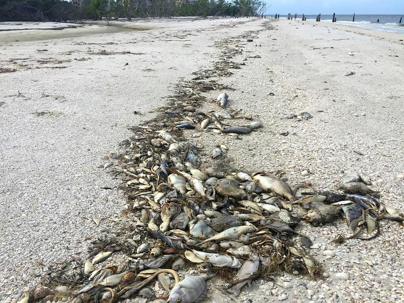 Tote Fische auf Fort Myers Beach lizenzfreies stockbild