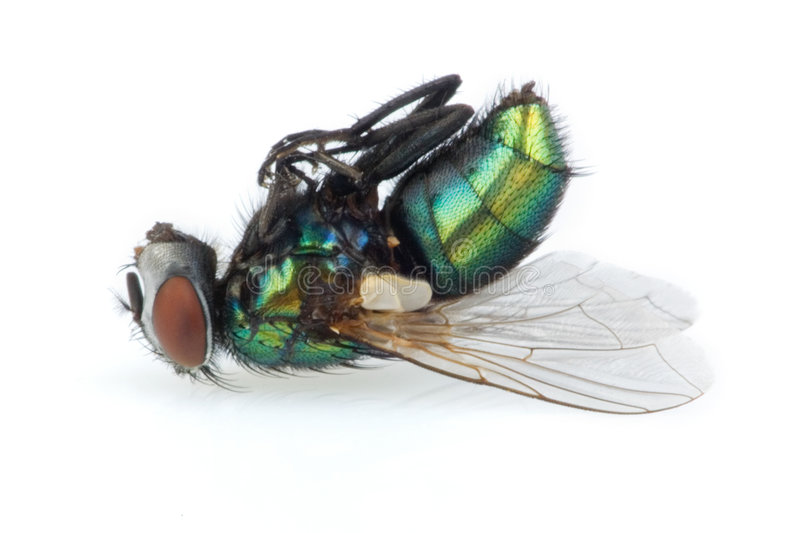 Tote Fliege lizenzfreie stockfotos