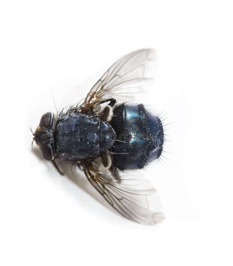 Tote Fliege lizenzfreies stockbild