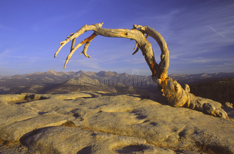 Tote Jeffrey Kiefer auf Hinweissymbol-Haube in Yosemite stockbild