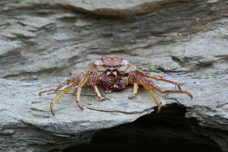 Tote Krabbe auf einem Felsen lizenzfreie stockfotos