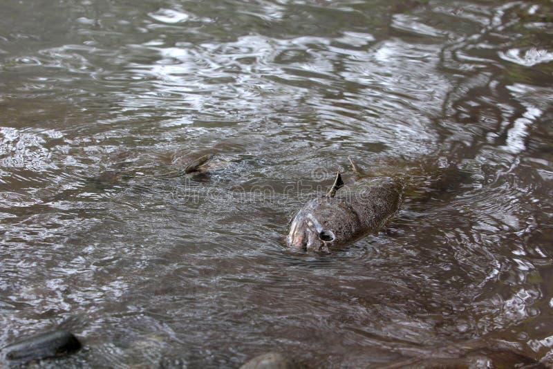 Tote Lachsfische stockfotos