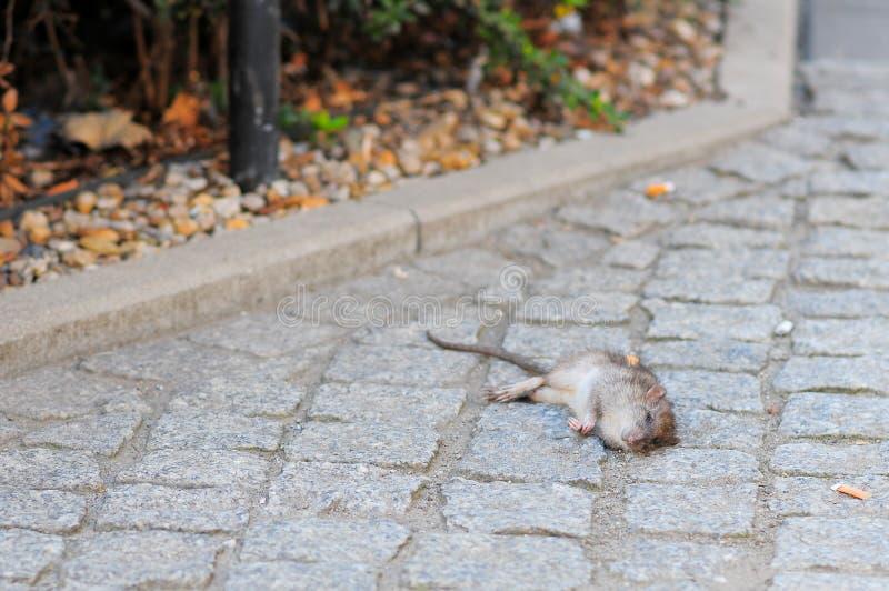 Tote Ratte auf der Straße stockfotografie