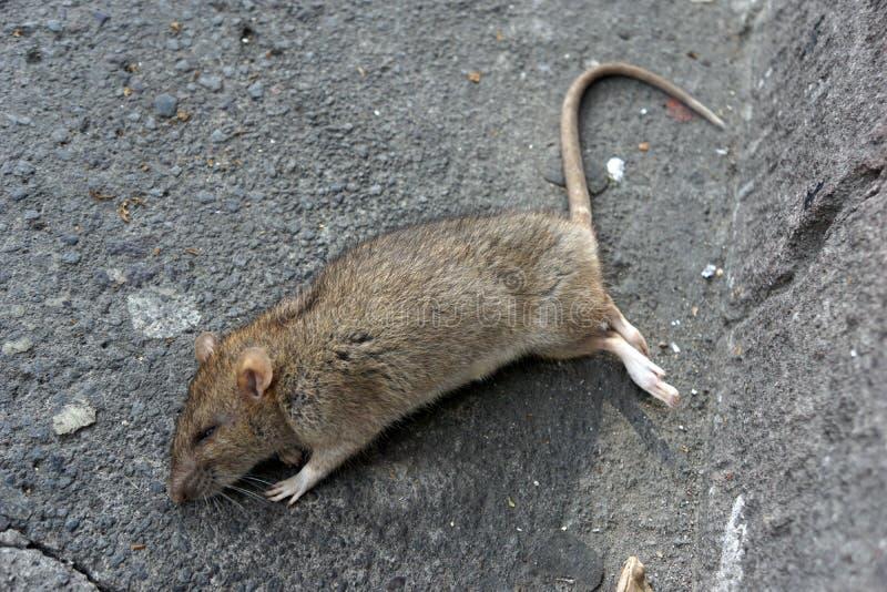 Tote Ratte in der Stra?e stockbild