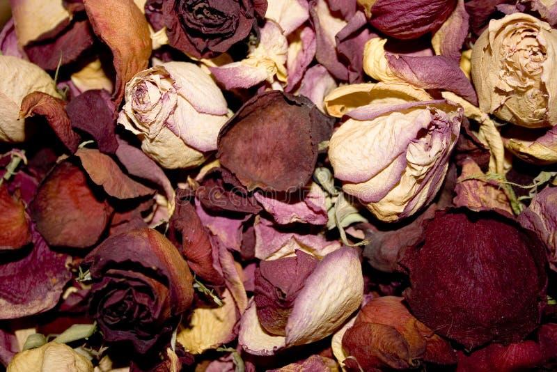 Tote Rosebuds lizenzfreie stockfotos