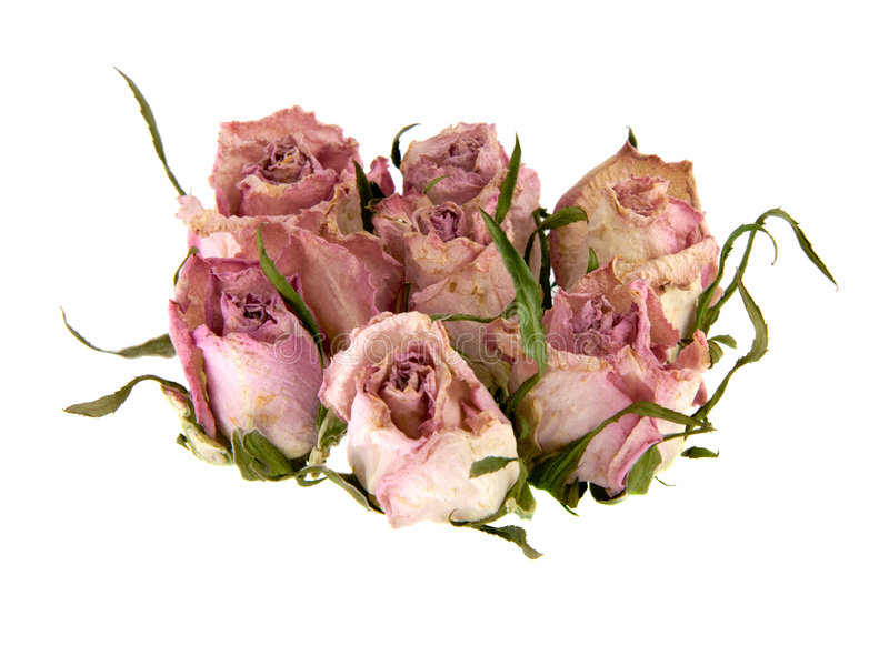 Tote Rosebuds stockfoto