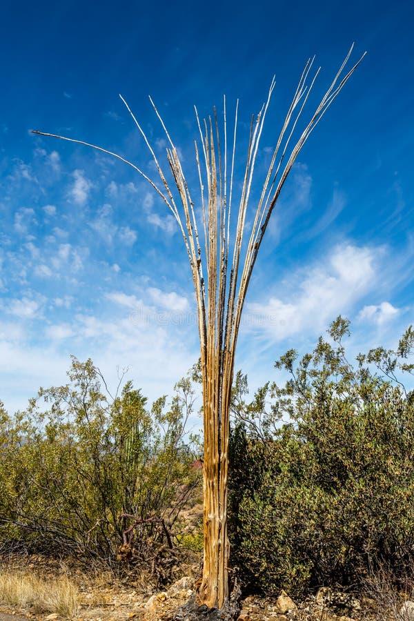 Tote Saguaro-Kaktus-Rippen lizenzfreie stockbilder
