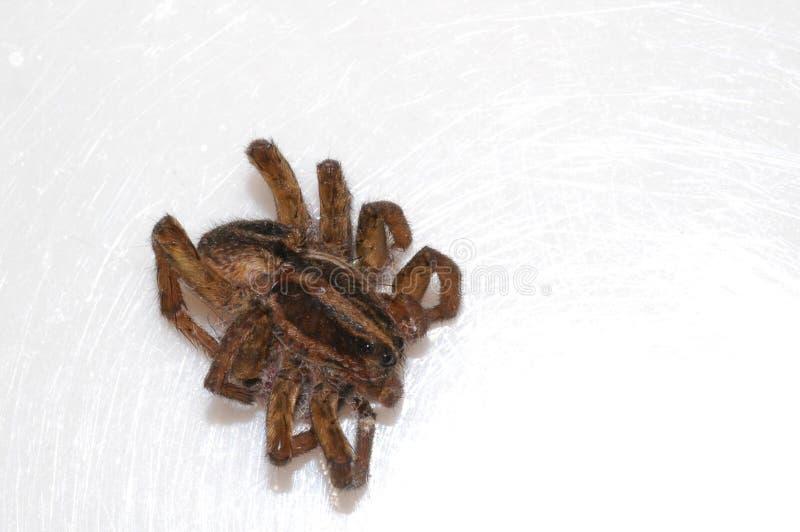Download Tote Spinne stockfoto. Bild von oberfläche, crawlies, gestorben - 39490