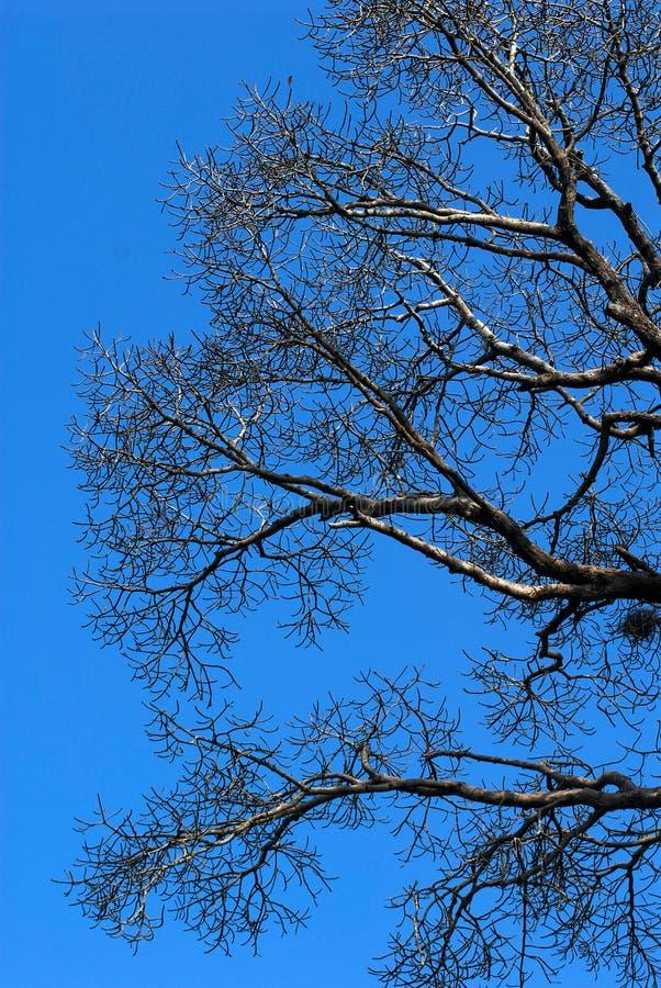 Tote Zweigbäume auf blauen Himmeln stockbilder