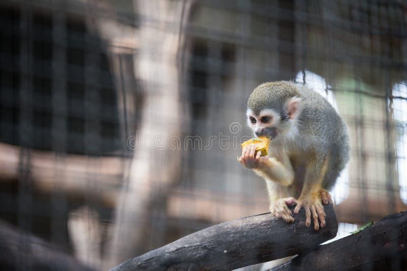 Totenkopfäffchen, das Frucht im Zoo isst stockfotografie