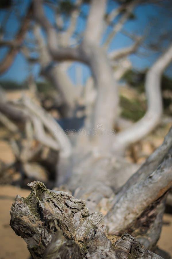 Toter Baum lizenzfreies stockfoto