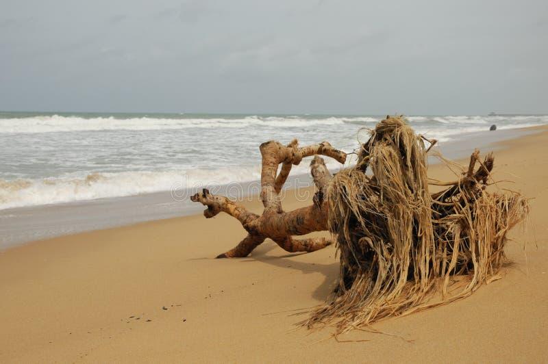 Toter Baum auf sandigem Strand lizenzfreies stockbild
