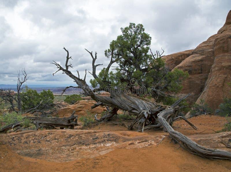 Toter Baum, Bögen Nationalpark, Moab Utah stockfoto
