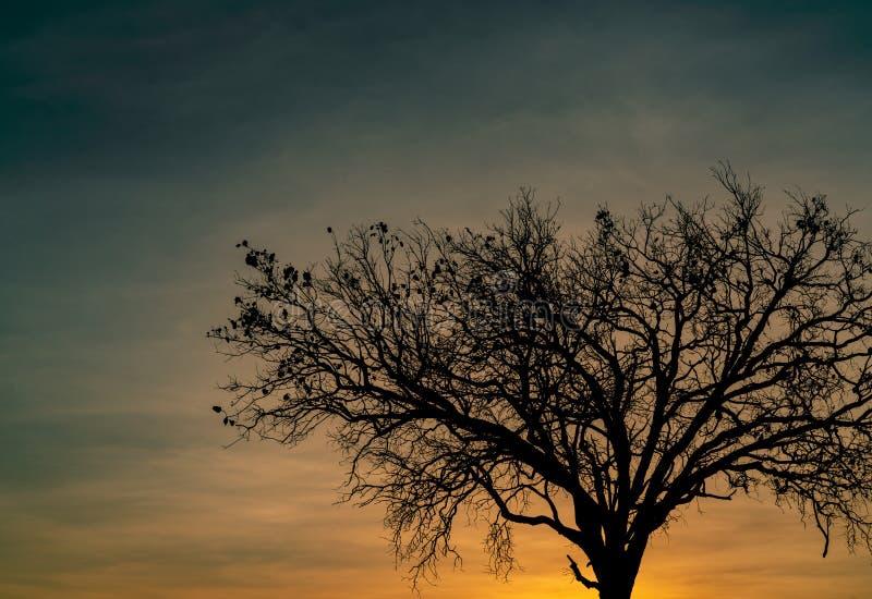 Toter Baum des Schattenbildes auf schönem Sonnenuntergang oder Sonnenaufgang auf goldenem Himmel Hintergrund für ruhiges und ruhi stockfotografie