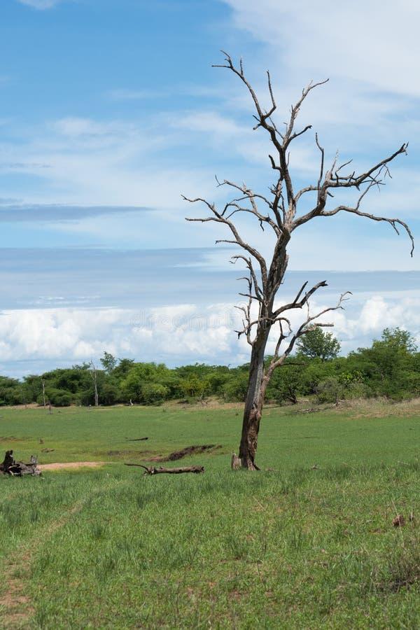 Toter Baum an Nationalpark Matusadona lizenzfreie stockfotos