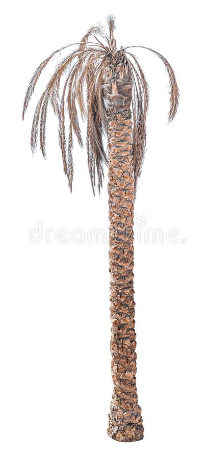 Toter Dattelpalmebaum stockfotos
