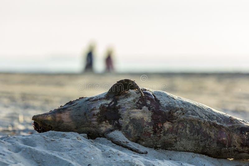 Toter Hafentümmler an Land gewaschen lizenzfreie stockfotos