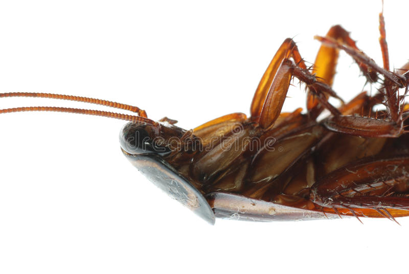 Toter Schabeprogrammfehler des Insekts lizenzfreies stockfoto