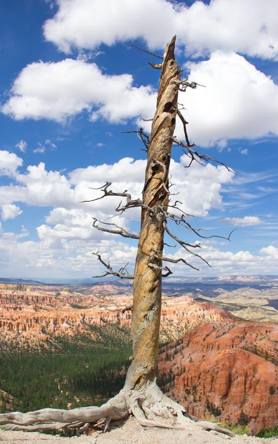 Toter stehender Baum mit großen Wurzeln auf einem trockenen Untergrund lizenzfreies stockfoto