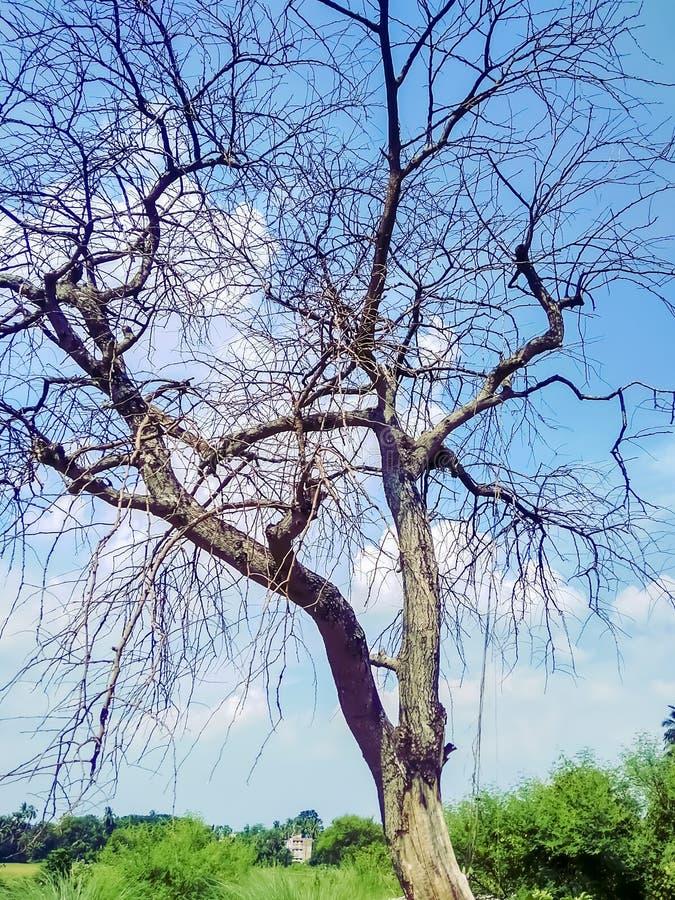 Toter/sterbender Baum des toten Baums, in der Wüste mit blauem Hintergrund des bewölkten Himmels lizenzfreies stockfoto