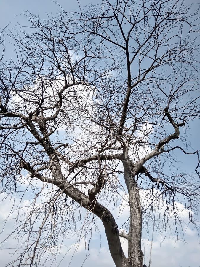Toter/sterbender Baum des toten Baums, in der Wüste mit blauem Hintergrund des bewölkten Himmels stockbild