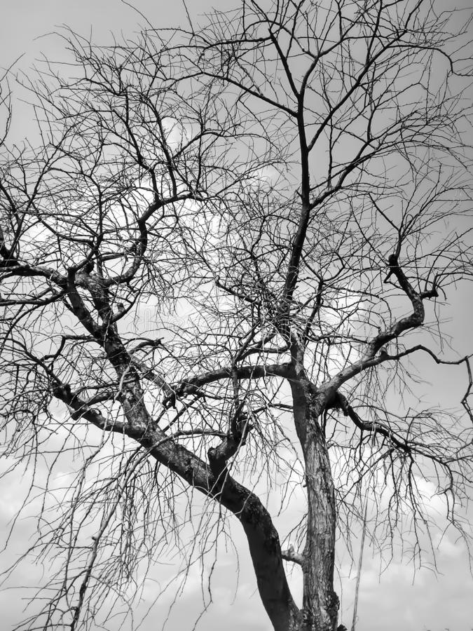Toter/sterbender Baum des toten Baums, in der Wüste mit blauem Hintergrund des bewölkten Himmels stockfotos