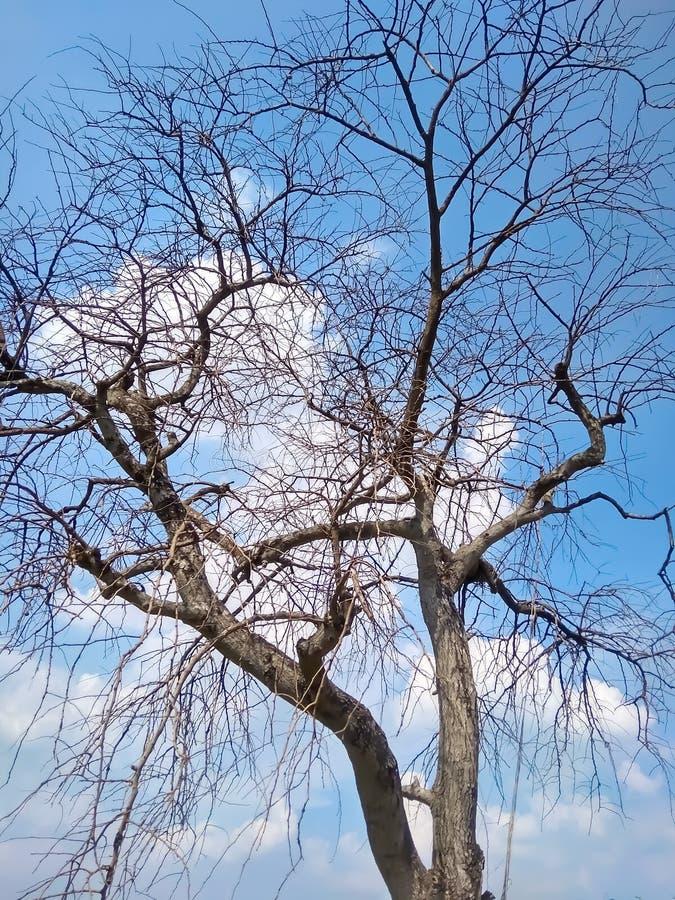 Toter/sterbender Baum des toten Baums, in der Wüste mit blauem Hintergrund des bewölkten Himmels stockfoto