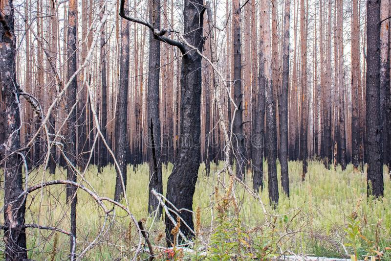 Toter trockener Kiefernwald nach bedeutendem Waldbrandverheerendem feuer Konsequenzen des verheerenden Feuers - verkohlte Bäume u lizenzfreie stockfotografie
