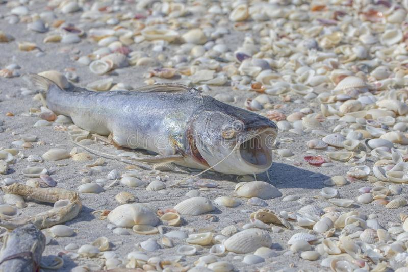 Toter Wels auf dem Strand stockfoto
