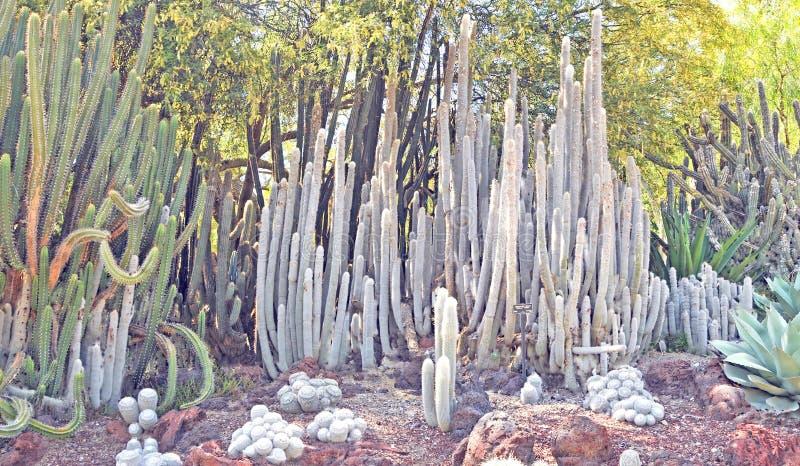 Toto Cactus lanoso fotografie stock