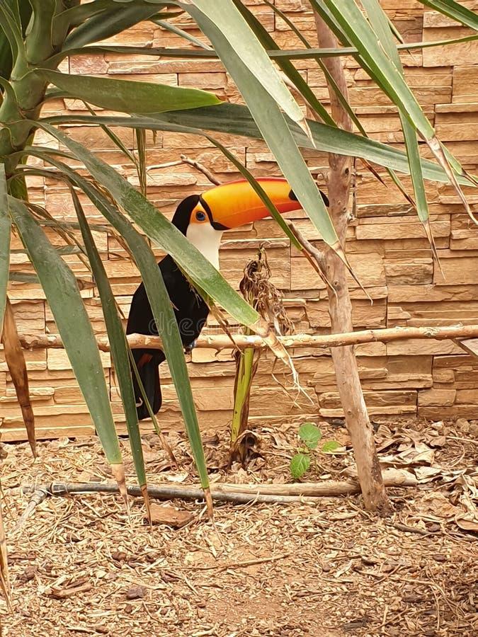 Toucan在雅典 免版税库存图片