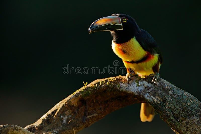 Toucan坐分支在森林里, Boca Tapada,拉古纳de Lagarto Lodge,哥斯达黎加 自然在中央Americ的鸟旅行 免版税库存图片