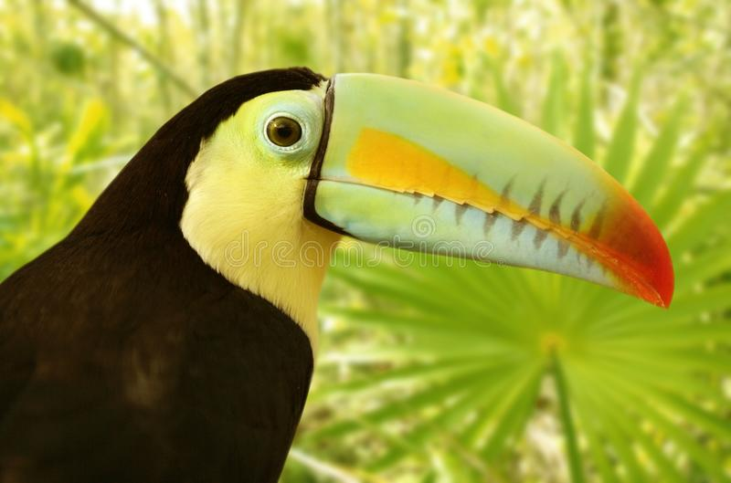 toucan开帐单的密林kee sulfuratus的tamphastos 免版税库存图片