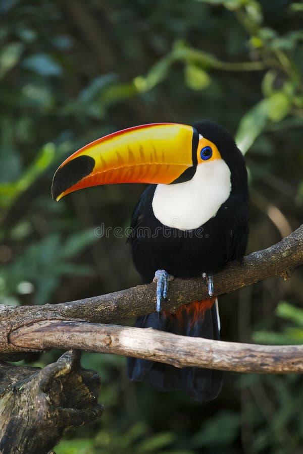 toucan的toco
