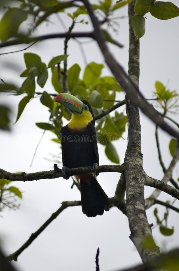 toucan鸟哥伦比亚的密林 免版税库存照片