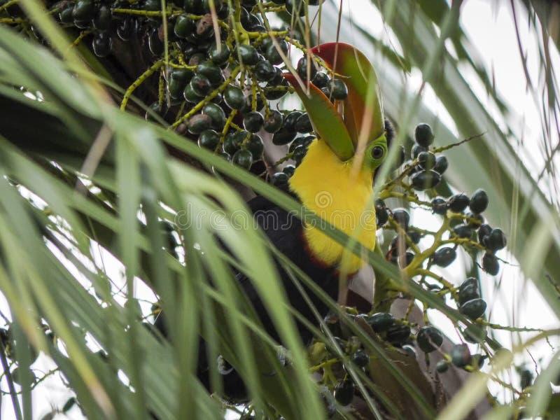 Toucan που τρώει τα φρούτα από έναν φοίνικα στοκ φωτογραφίες