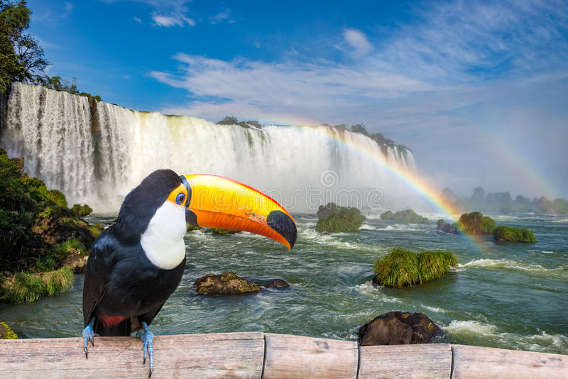 Toucan στις μεγαλοπρεπείς πτώσεις Iguasu cataratas στοκ εικόνα
