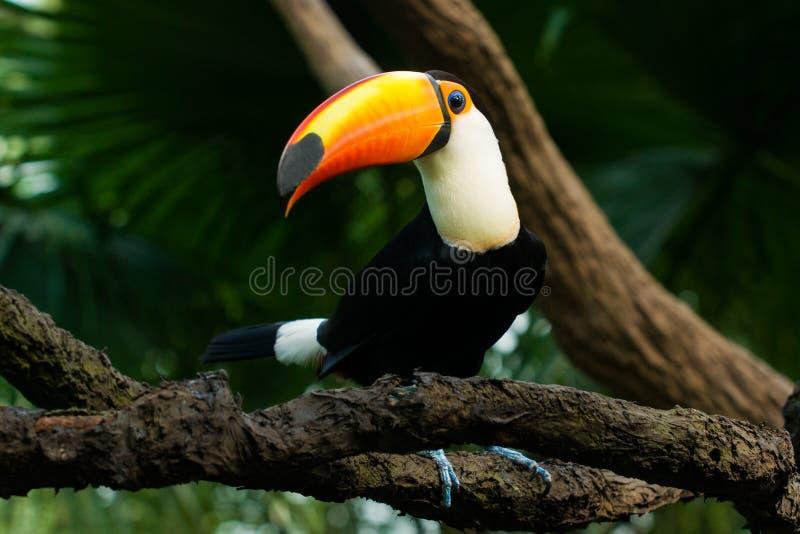 Toucan сидит на ветви стоковые фотографии rf