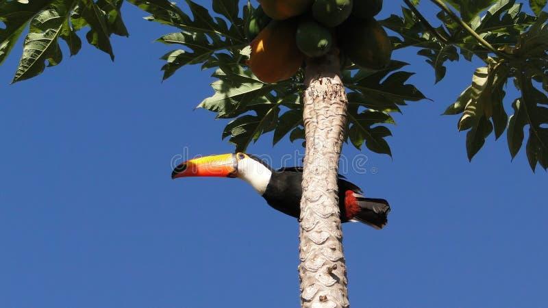 toucan стоковое изображение rf
