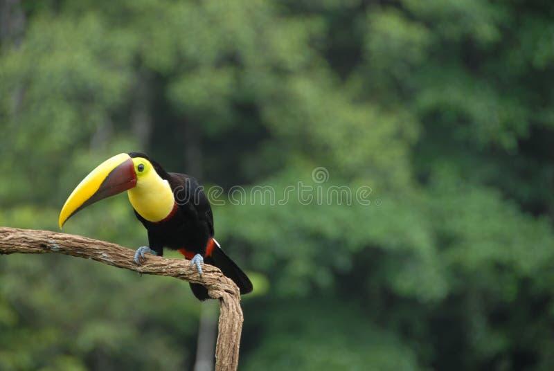 Toucan fotografia stock libera da diritti