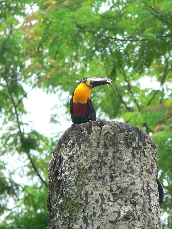 Toucan. Botanical garden - Rio de Janeiro - Brazil royalty free stock photo