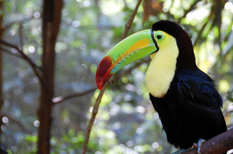 toucan 免版税库存图片