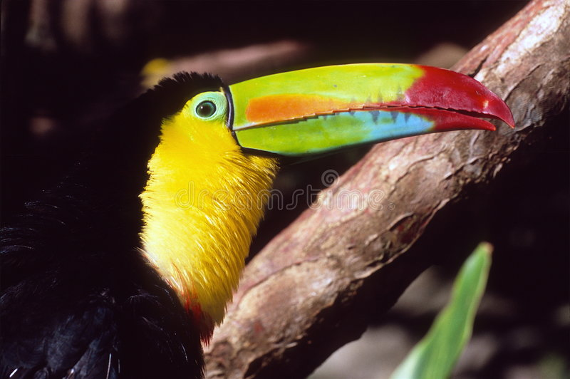 Download Toucan stock photo. Image of colorful, beautiful, rica - 4194406