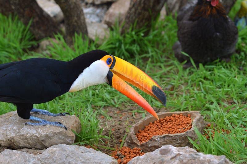 toucan royaltyfri bild