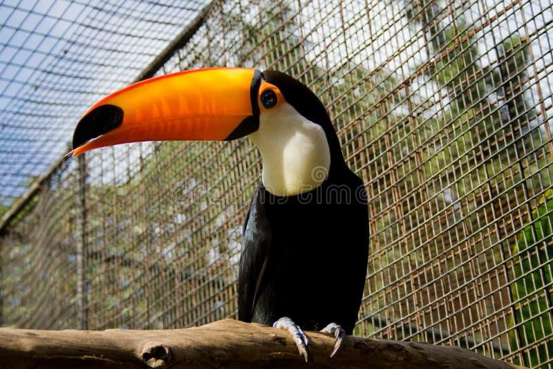 toucan стоковые изображения