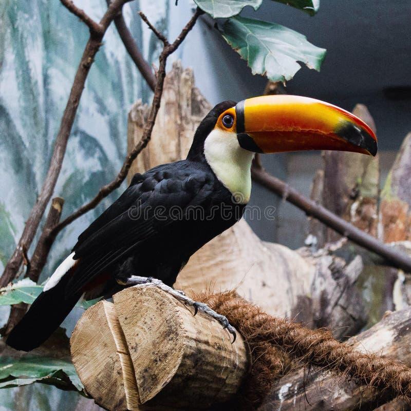 Toucan stockbild