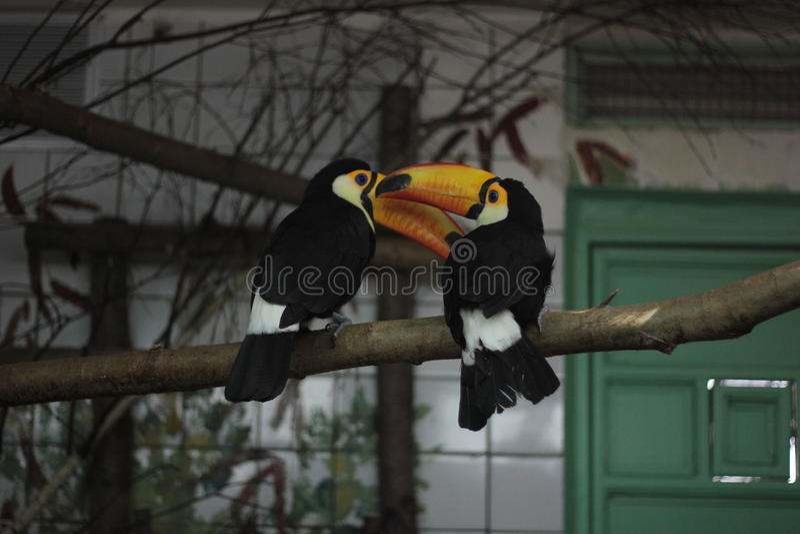 Toucan fotografie stock