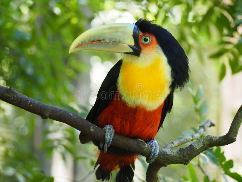 Toucan stockbilder
